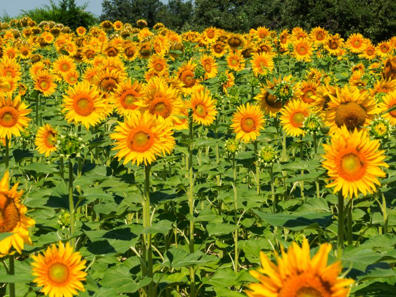 Ancona Marches Sunflowers